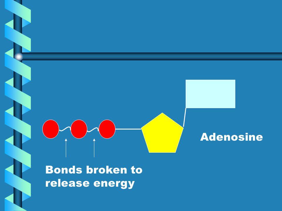 Adenosine Bonds broken to release energy