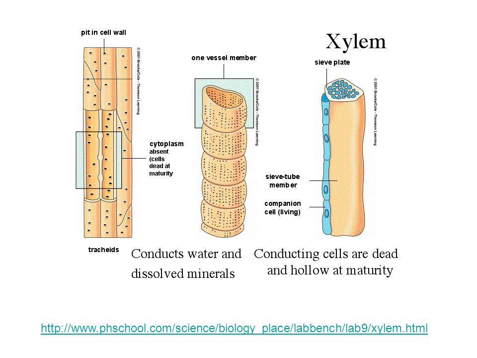 http://www. phschool. com/science/biology_place/labbench/lab9/xylem