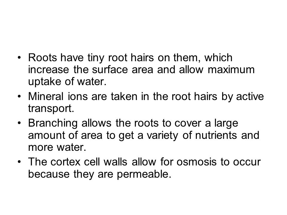 Roots have tiny root hairs on them, which increase the surface area and allow maximum uptake of water.