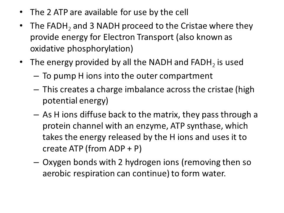 The 2 ATP are available for use by the cell