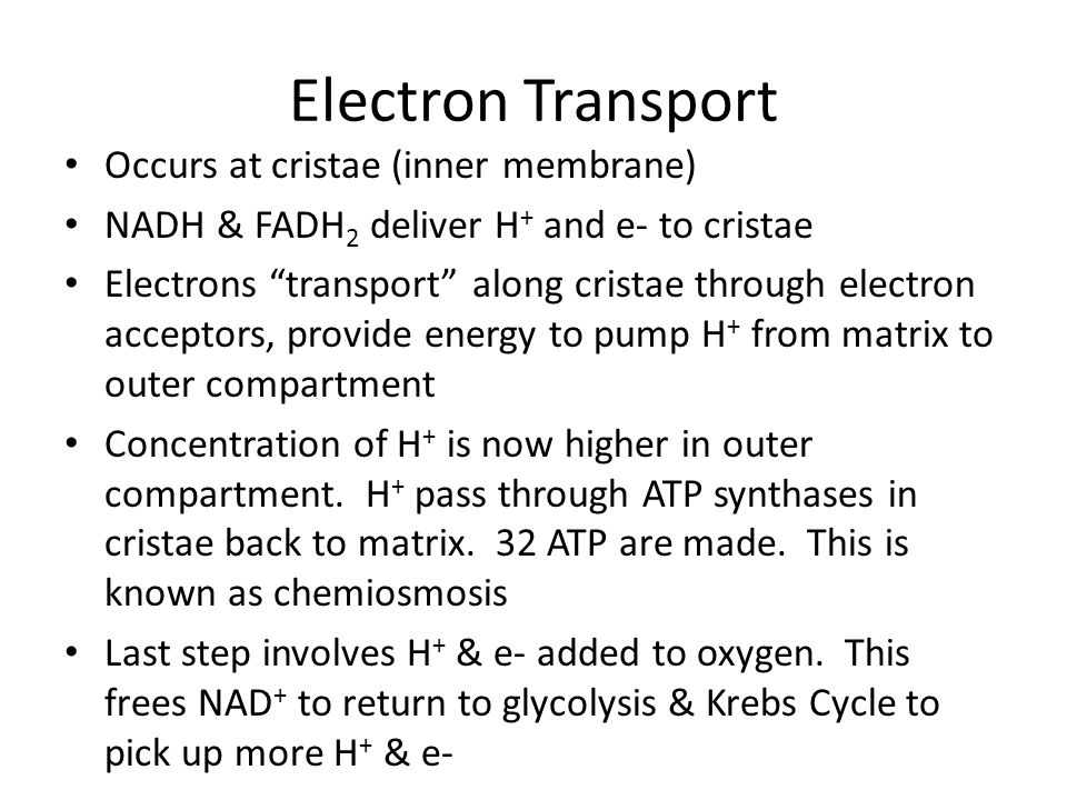 Electron Transport Occurs at cristae (inner membrane)