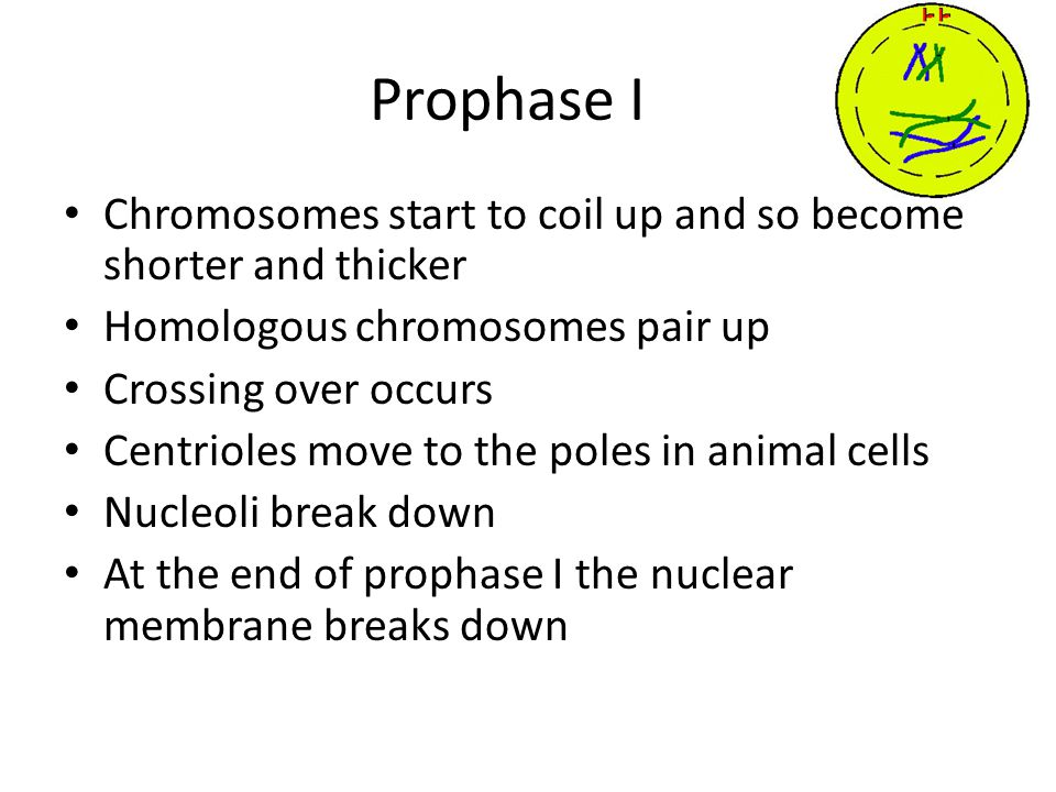 Prophase I Chromosomes start to coil up and so become shorter and thicker. Homologous chromosomes pair up.
