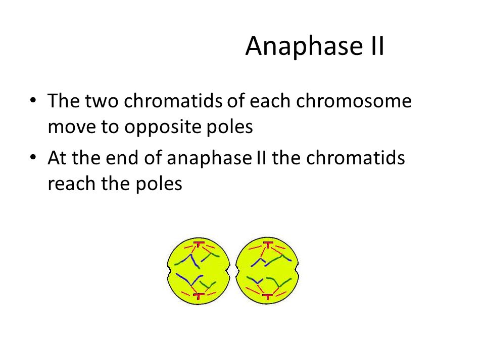 Anaphase II The two chromatids of each chromosome move to opposite poles.