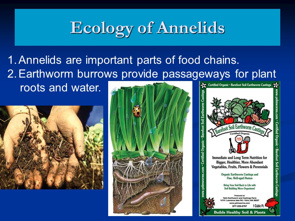 Ecology of Annelids Annelids are important parts of food chains.