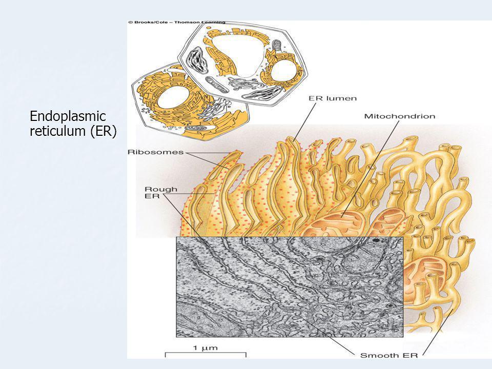 Endoplasmic reticulum (ER)