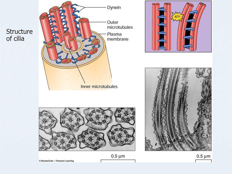 Structure of cilia