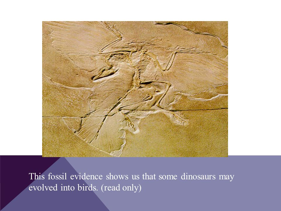 This fossil evidence shows us that some dinosaurs may evolved into birds. (read only)