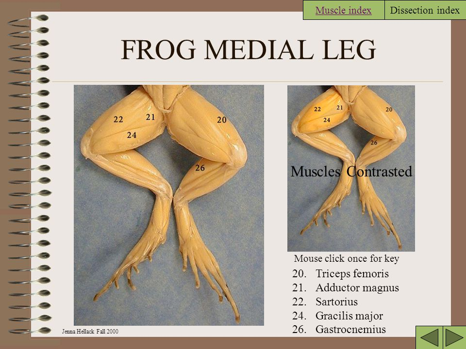 FROG MEDIAL LEG Muscles Contrasted 20. Triceps femoris