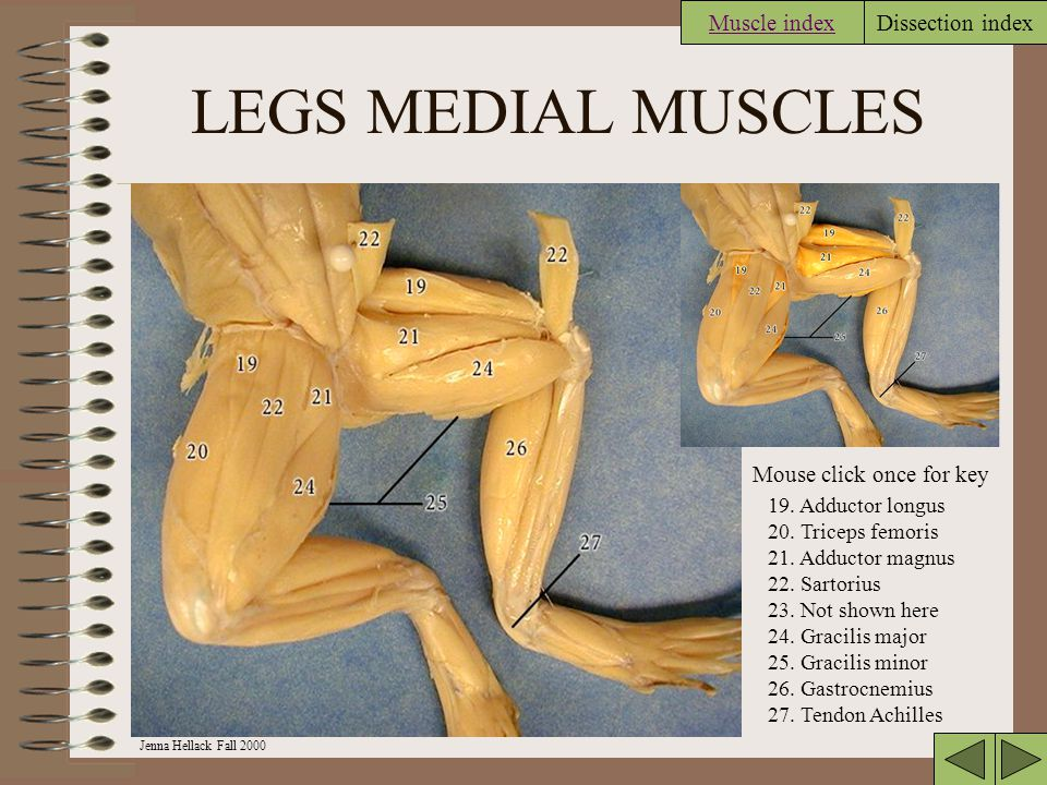 LEGS MEDIAL MUSCLES Muscle index Mouse click once for key