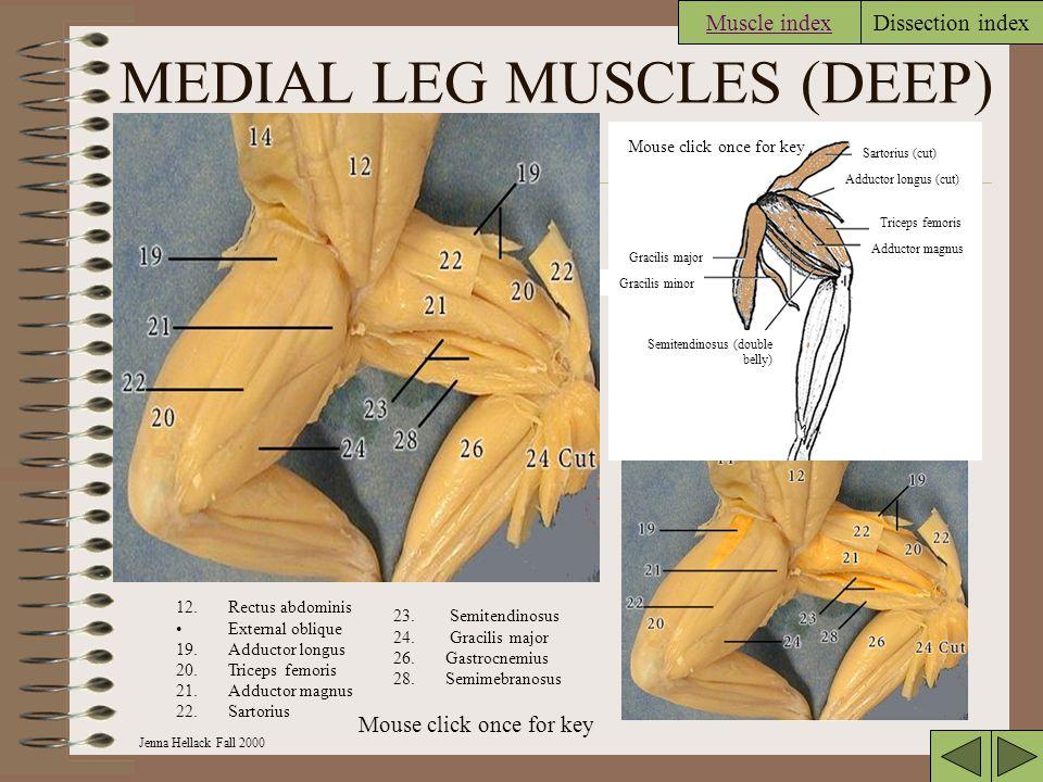 MEDIAL LEG MUSCLES (DEEP)