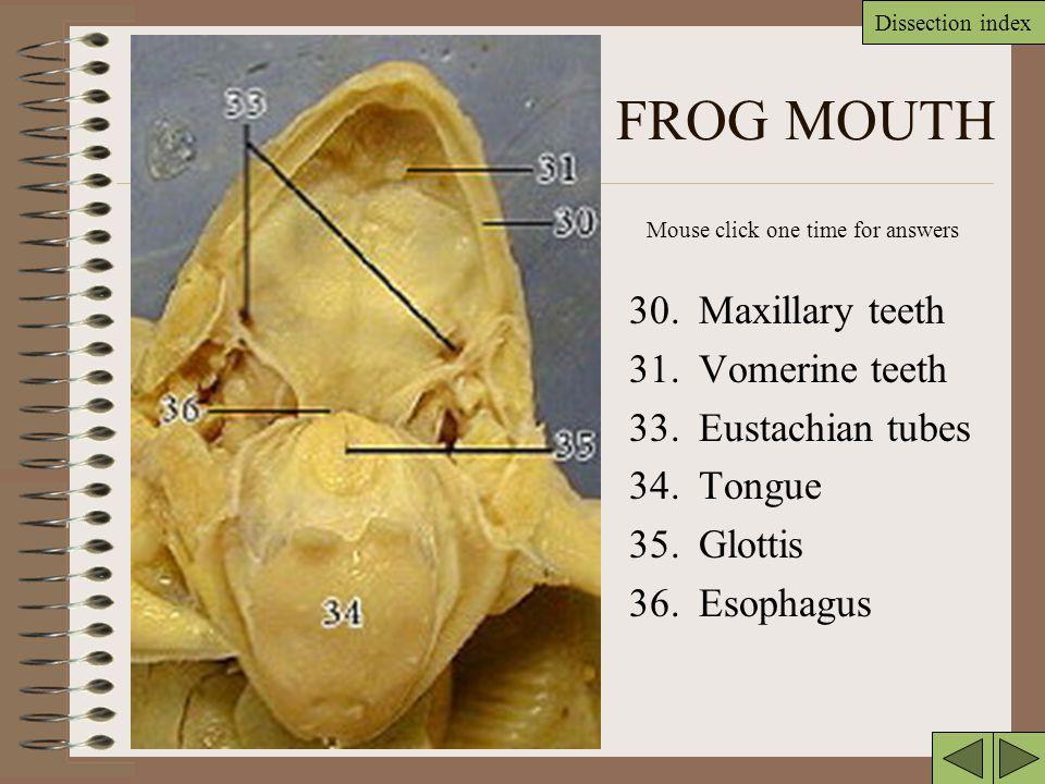 FROG MOUTH 30. Maxillary teeth 31. Vomerine teeth 33. Eustachian tubes