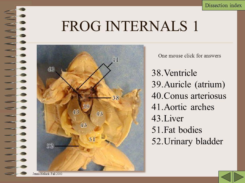 FROG INTERNALS 1 Ventricle Auricle (atrium) Conus arteriosus