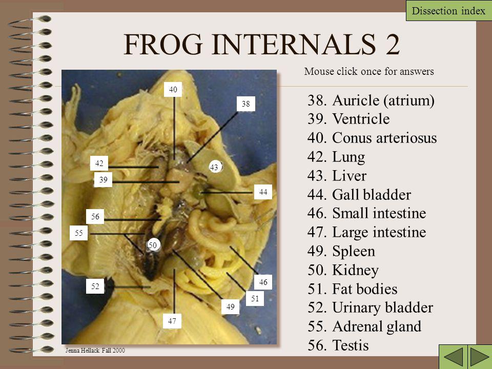 FROG INTERNALS 2 Auricle (atrium) Ventricle Conus arteriosus Lung