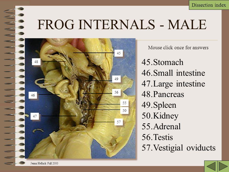 FROG INTERNALS - MALE Stomach Small intestine Large intestine Pancreas