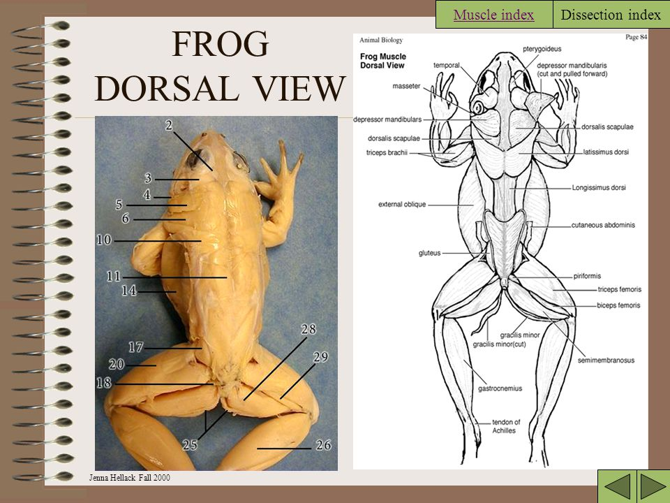 Muscle index FROG DORSAL VIEW