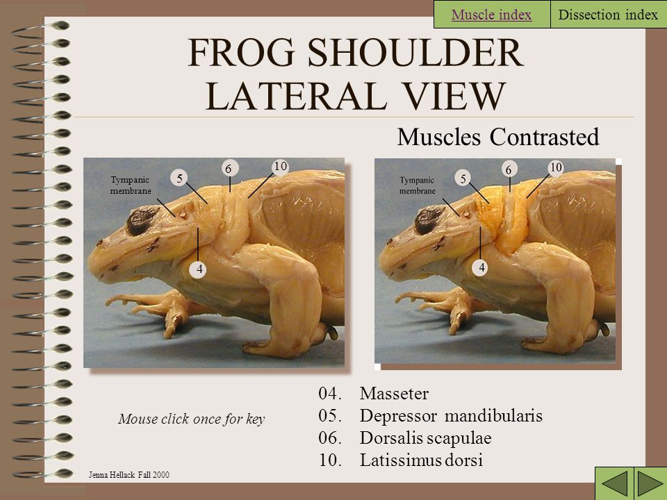 FROG SHOULDER LATERAL VIEW