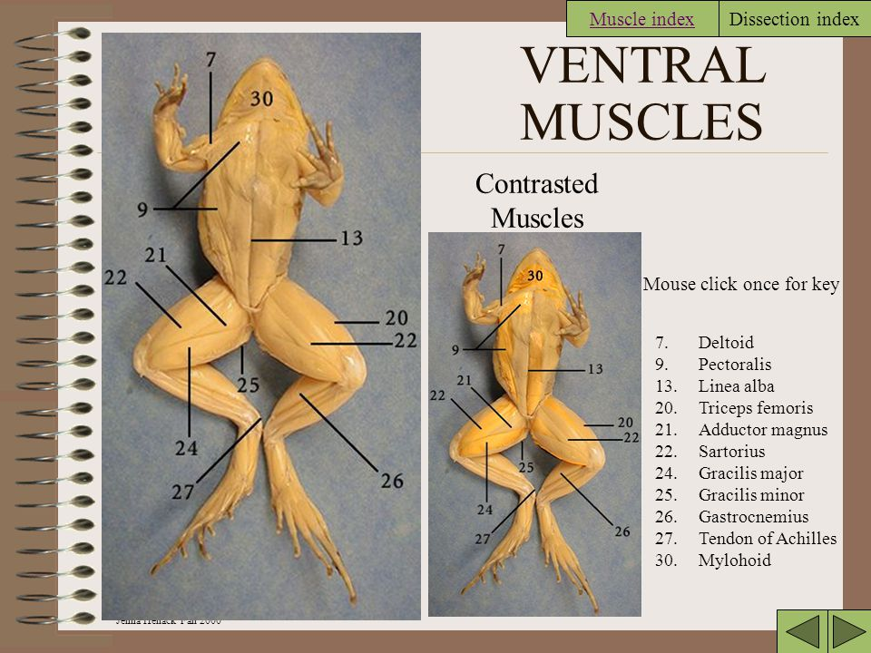 VENTRAL MUSCLES Contrasted Muscles Muscle index