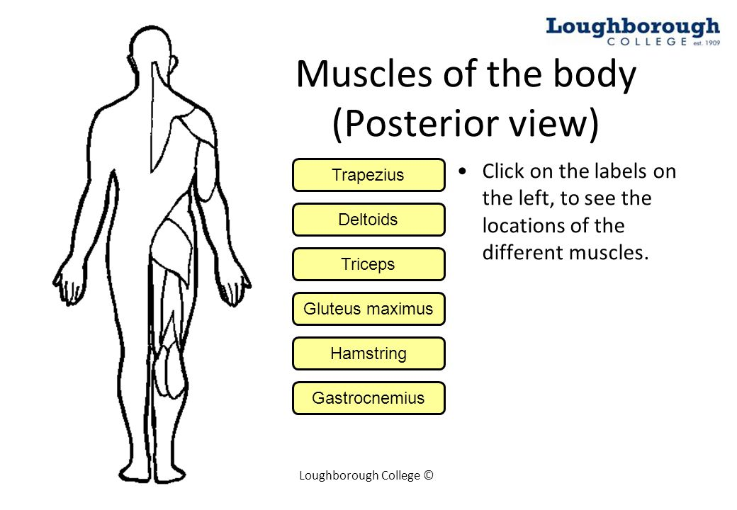 Muscles of the body (Posterior view)