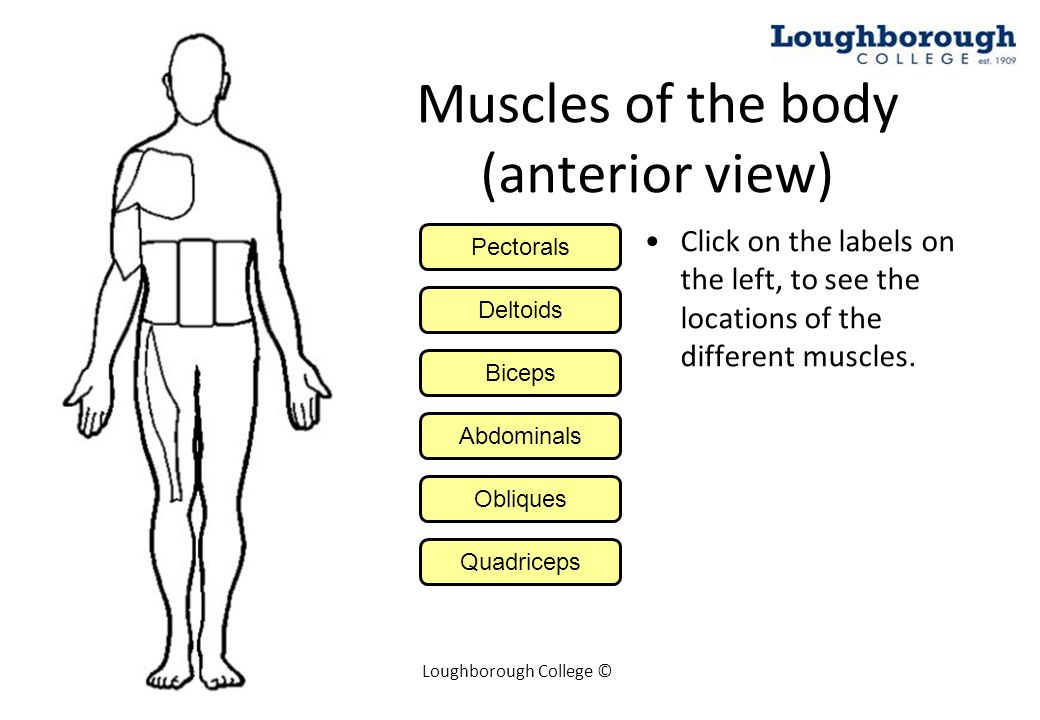 Muscles Of The Body Anterior View Ppt Video Online Download