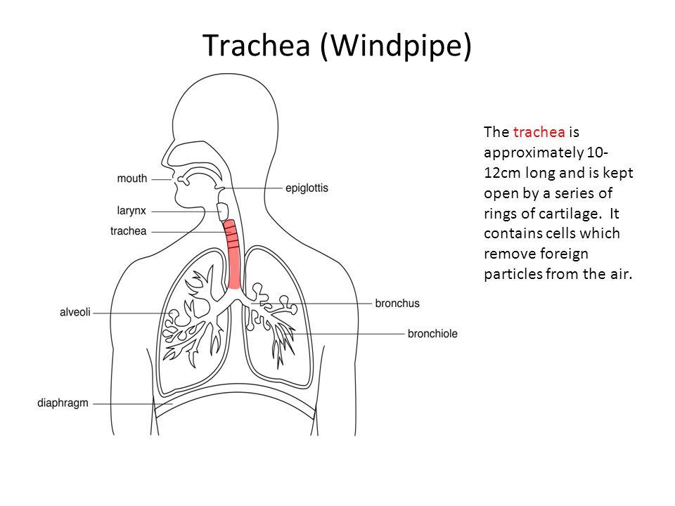 Trachea (Windpipe)