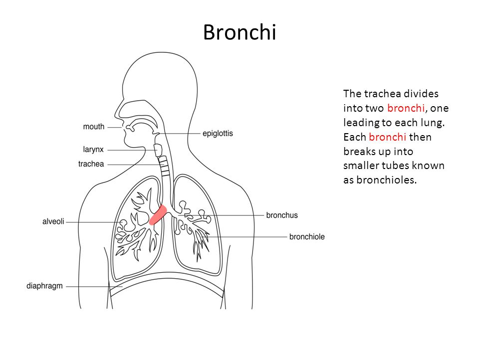 Bronchi The trachea divides into two bronchi, one leading to each lung.