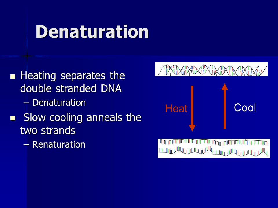 Denaturation Heating separates the double stranded DNA