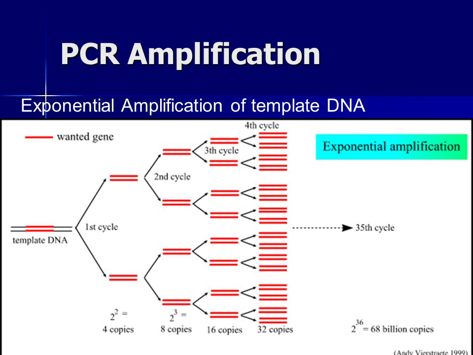 PCR Amplification Exponential Amplification of template DNA