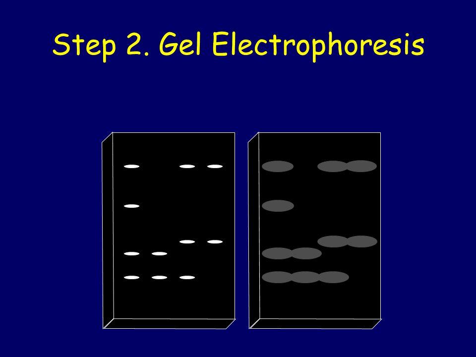 Step 2. Gel Electrophoresis