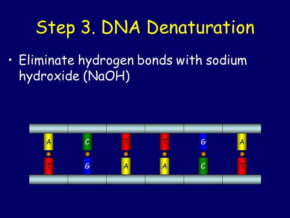 Step 3. DNA Denaturation Eliminate hydrogen bonds with sodium hydroxide (NaOH) A C T G T G A C