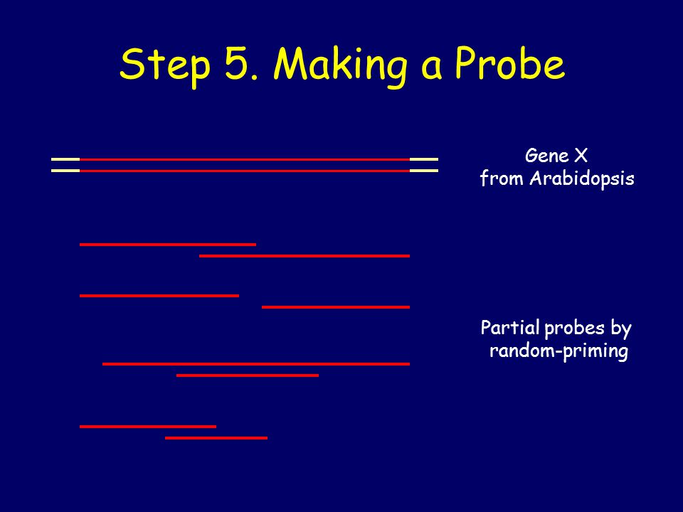 Step 5. Making a Probe Gene X from Arabidopsis Partial probes by