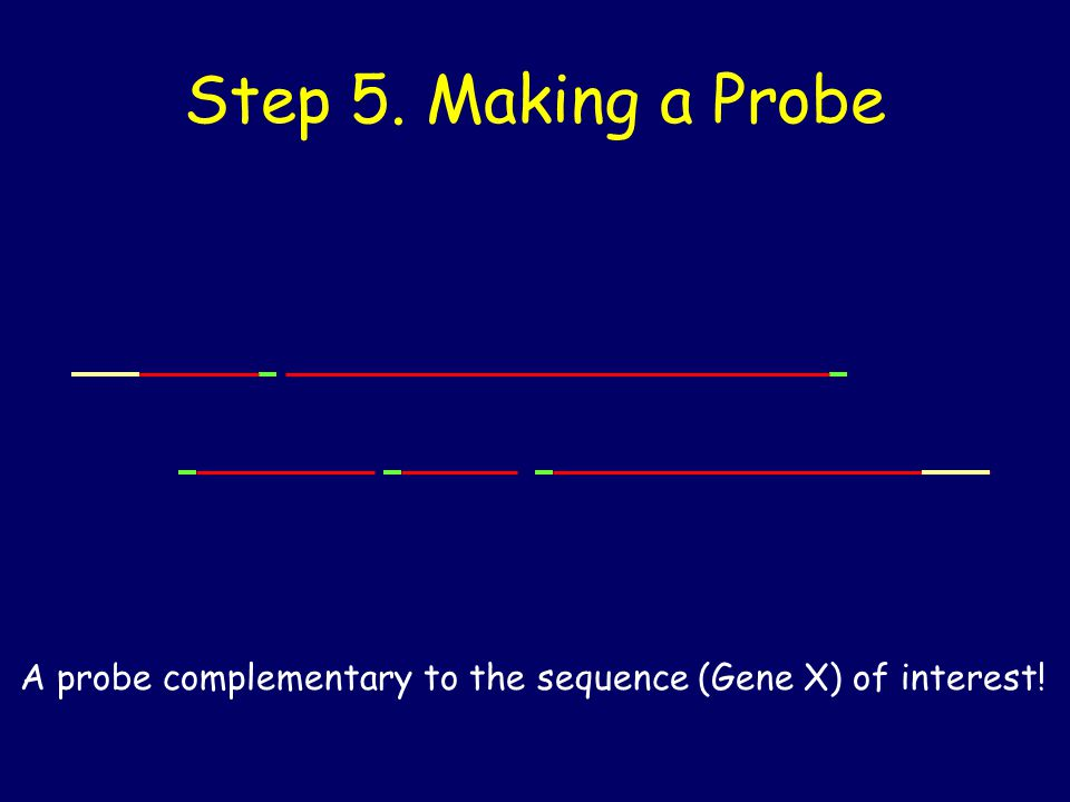 Step 5. Making a Probe A probe complementary to the sequence (Gene X) of interest!