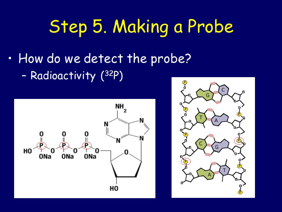 Step 5. Making a Probe How do we detect the probe Radioactivity (32P)