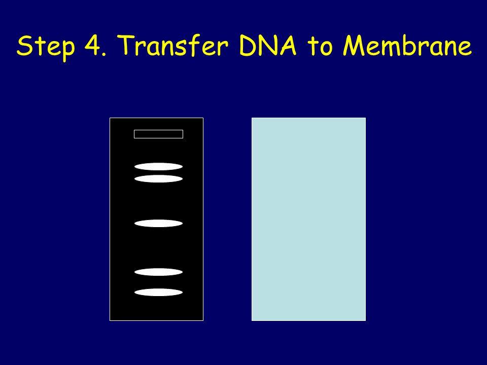 Step 4. Transfer DNA to Membrane