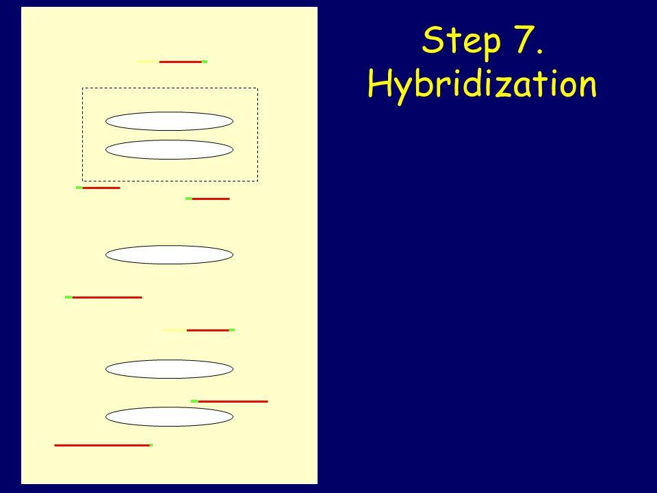 Step 7. Hybridization