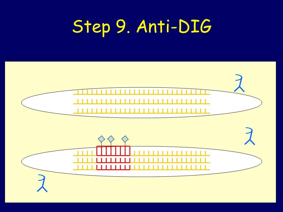 Step 9. Anti-DIG