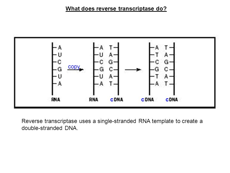 What does reverse transcriptase do
