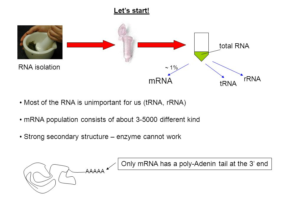 Only mRNA has a poly-Adenin tail at the 3' end