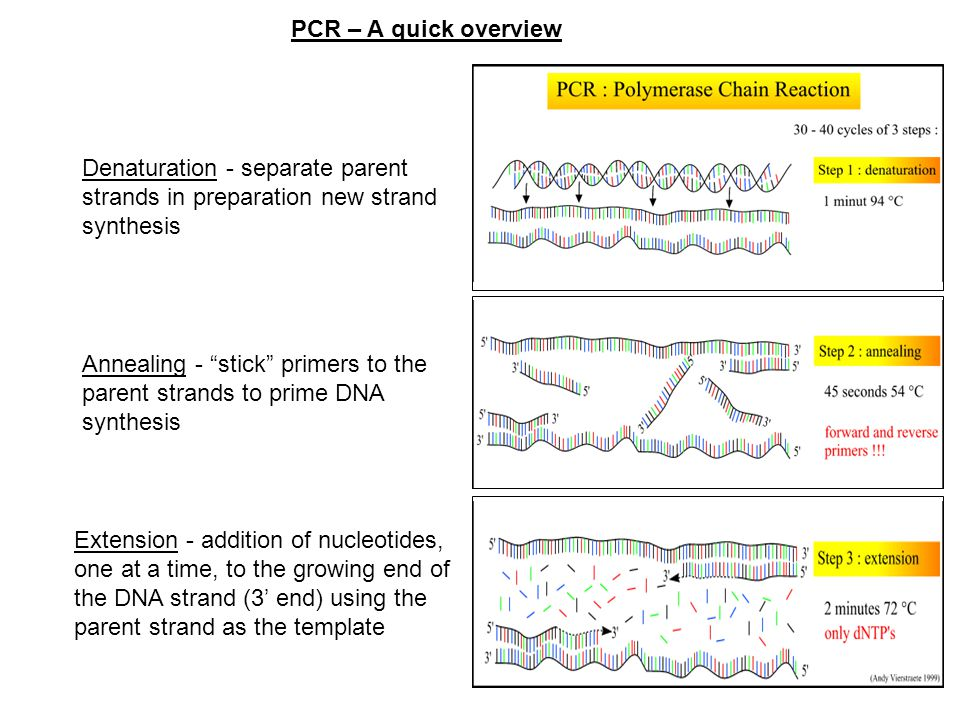 PCR – A quick overview Denaturation - separate parent strands in preparation new strand synthesis.