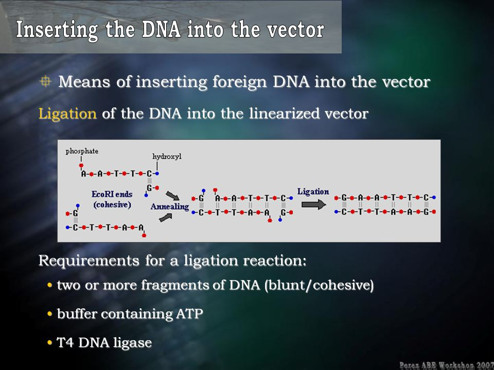 Inserting the DNA into the vector