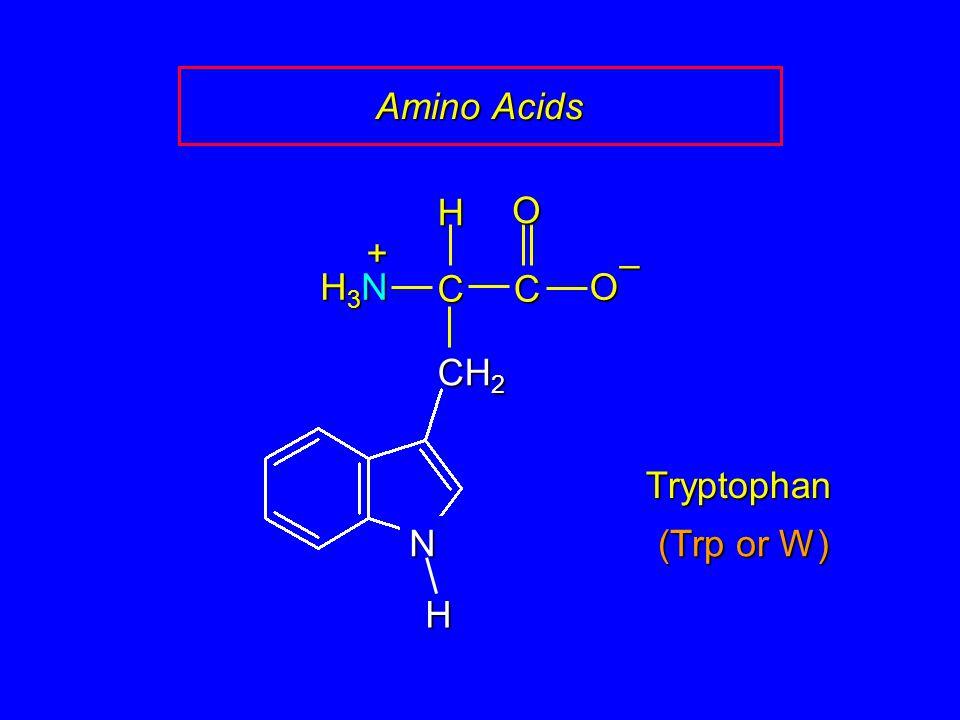 Amino Acids C O – CH2 H H3N + N Tryptophan (Trp or W)