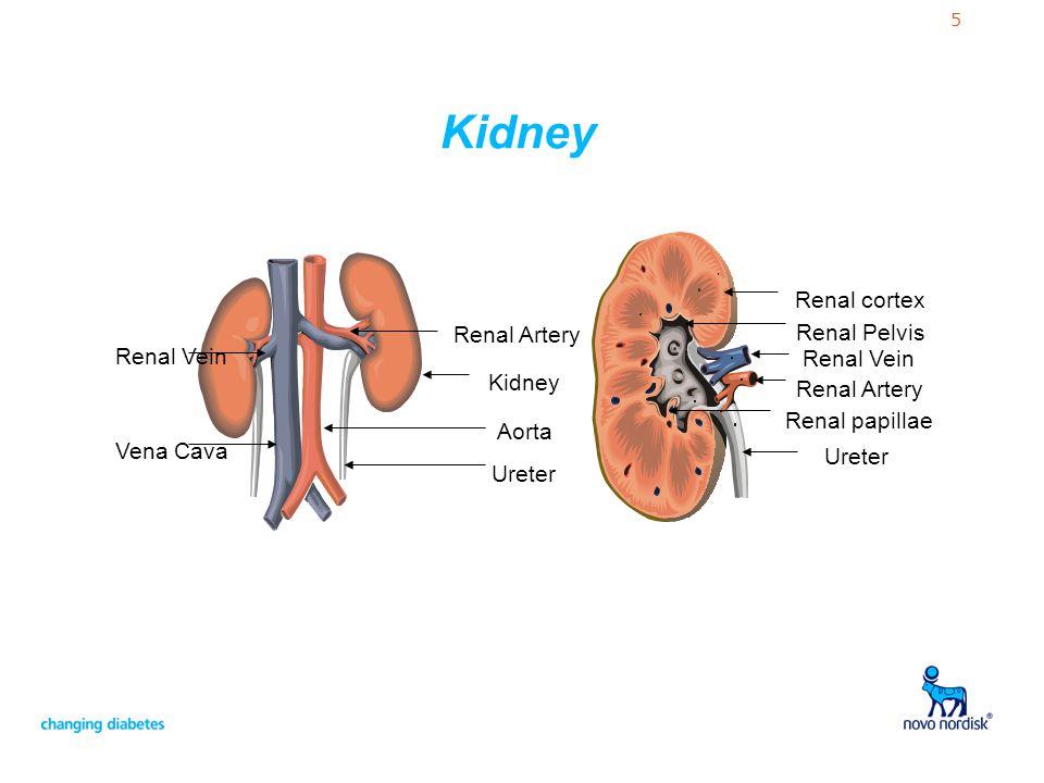 Kidney Renal cortex Renal Artery Renal Pelvis Renal Vein Renal Vein