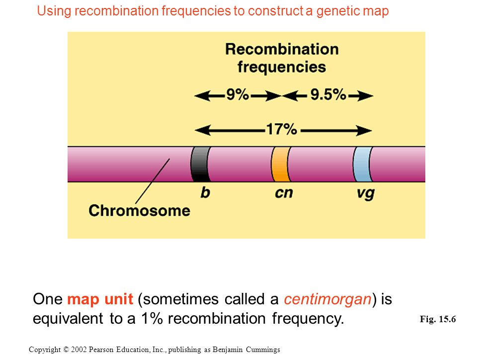 Using recombination frequencies to construct a genetic map