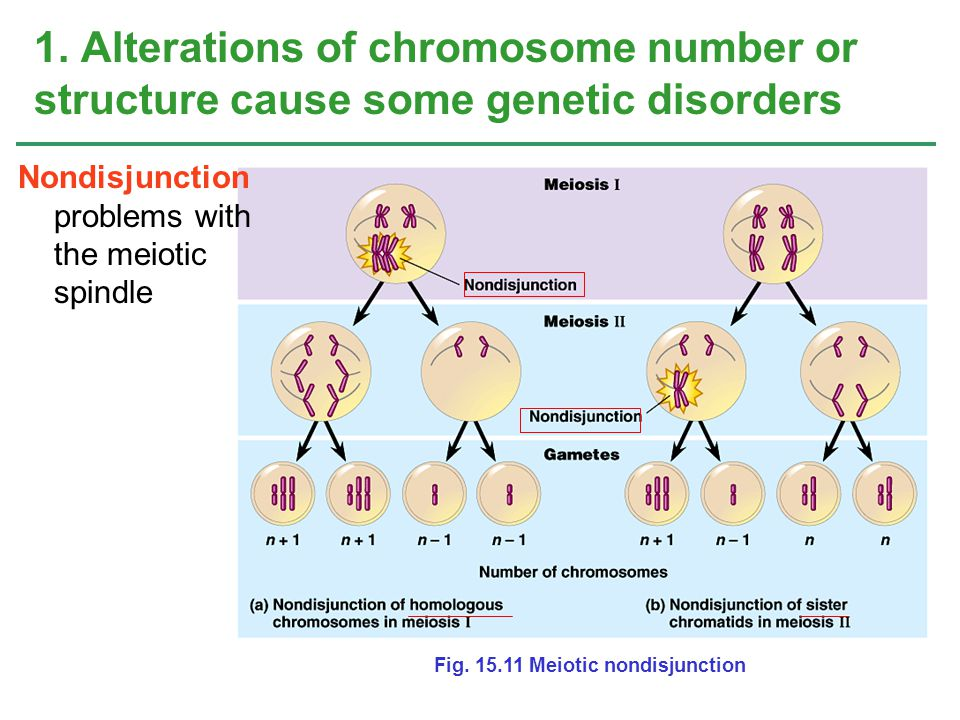 1. Alterations of chromosome number or structure cause some genetic disorders