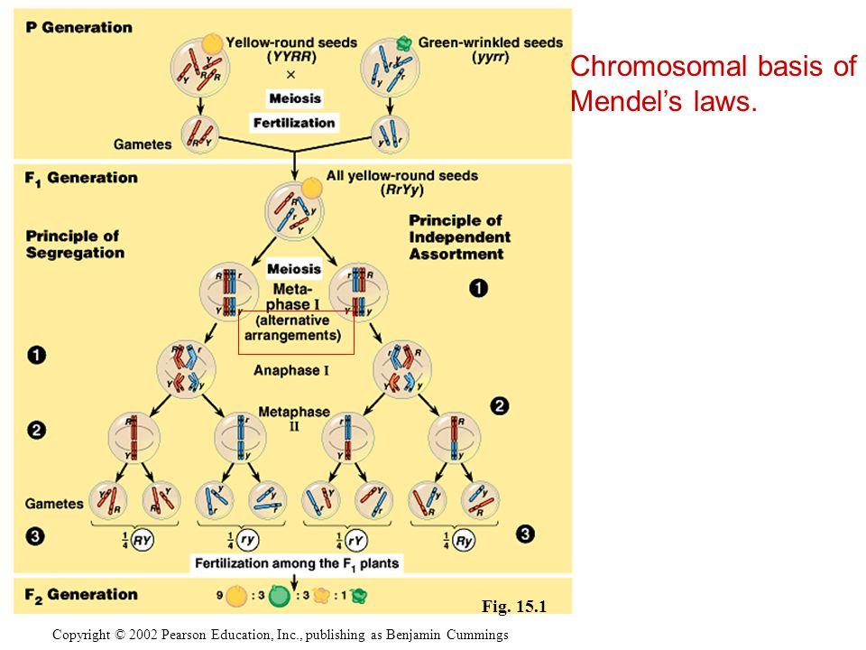 Chromosomal basis of Mendel's laws. Fig. 15.1