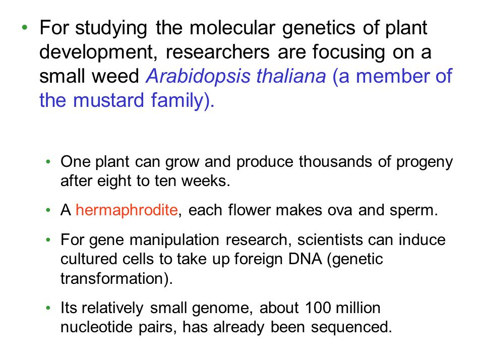 For studying the molecular genetics of plant development, researchers are focusing on a small weed Arabidopsis thaliana (a member of the mustard family).