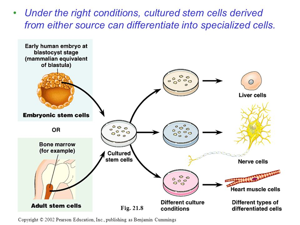 Under the right conditions, cultured stem cells derived from either source can differentiate into specialized cells.