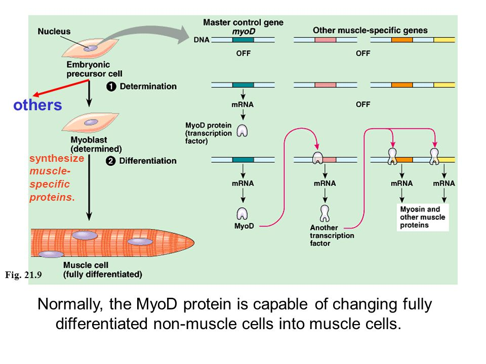 others synthesize muscle- specific proteins.