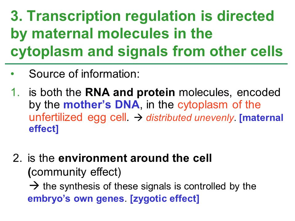 3. Transcription regulation is directed by maternal molecules in the cytoplasm and signals from other cells