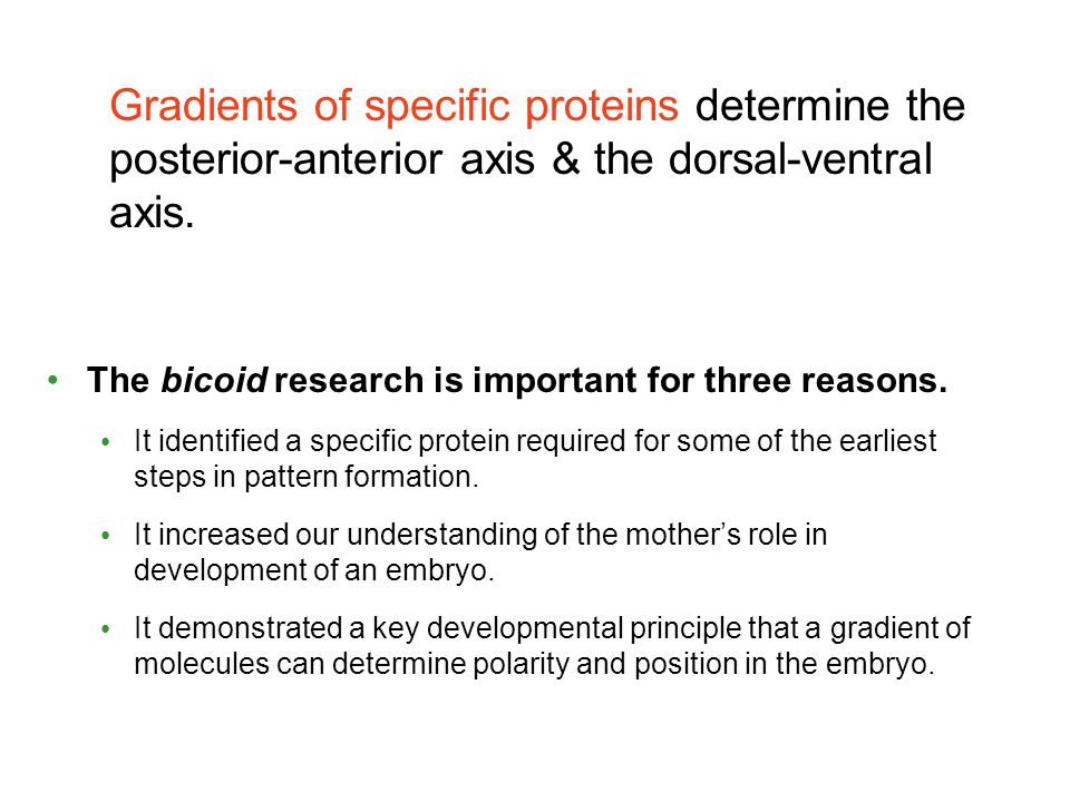 Gradients of specific proteins determine the posterior-anterior axis & the dorsal-ventral axis.