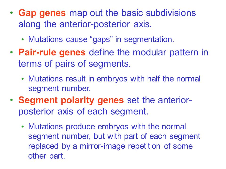 Gap genes map out the basic subdivisions along the anterior-posterior axis.
